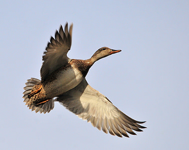 flying gray duck