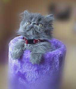 gray Russian kitten on purple case