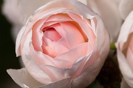 closeup photography of pink roses