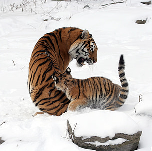 tiger with cub on snow