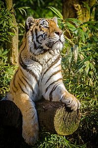 Bengal tiger lying on a tree trunk while closing its eyes