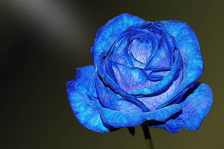 blue rose in close up photography