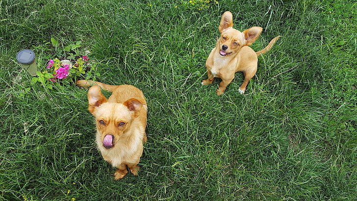 two brown dogs facing upwars