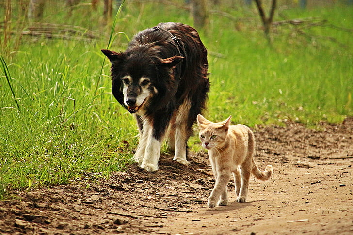 orange Tabby cat and black and brown dog