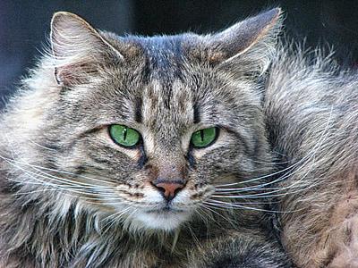 closeup photo of short-fur gray and black cat