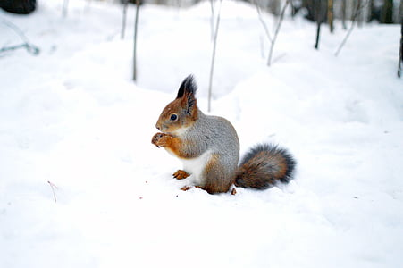 grey squirrel on snow while eating