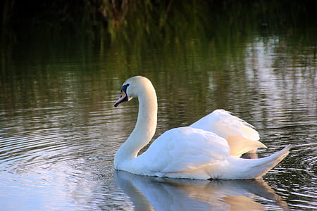 white swan on river