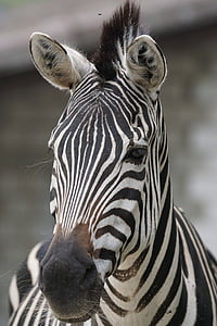 close photography of zebra