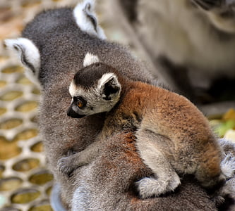 lemur and baby lemur on back