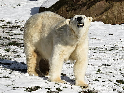 white polar bear on snowfield