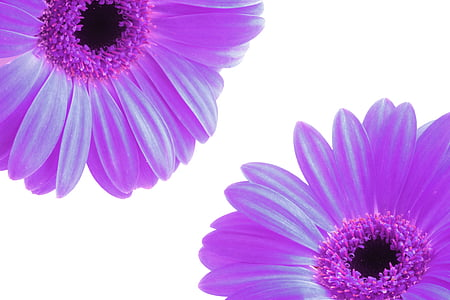close photo of two daisy flowers