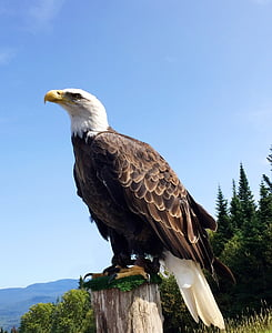 white and brown bald eagle standing on brown wood