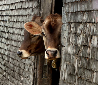 two brown cattle peeking though wooden door