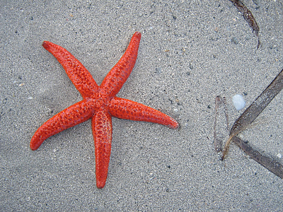 photo of red starfish