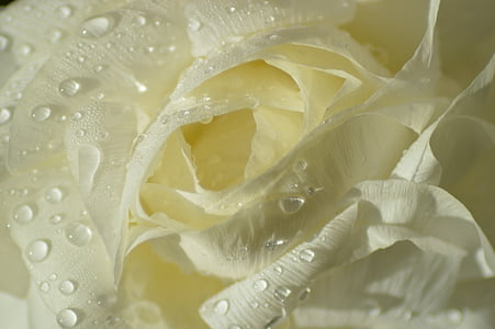 close up photography of white rose flower with water dew
