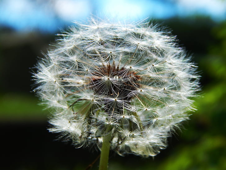 close up photography of withered dandelion