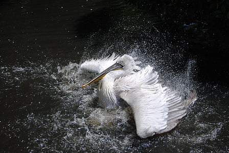 Australian white pelican on water