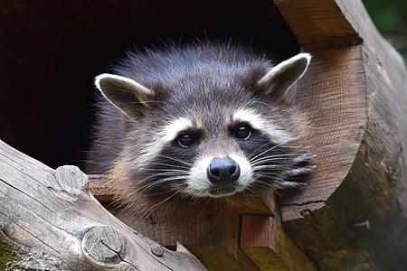 black and white raccoon