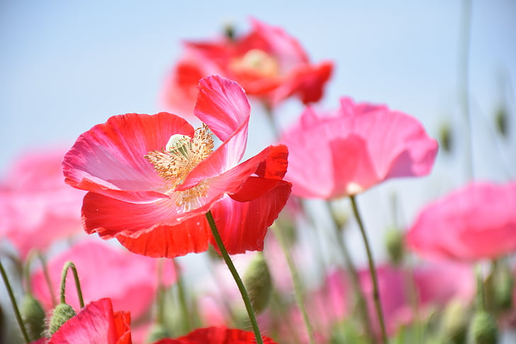 shallow focus photography of red poppy flower