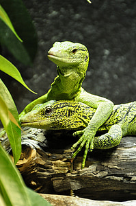 two green bearded dragons on driftwood