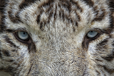 eyes, white tiger, tiger, animal, wild cat, zoo