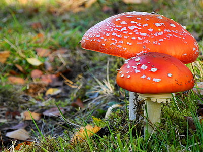 two red mushrooms surrounded with green grass