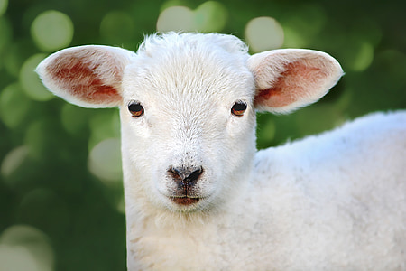 closeup photo of lamb