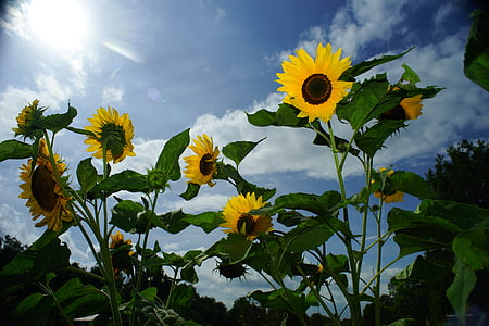 yellow sunflower flowers under white clouds at daytime