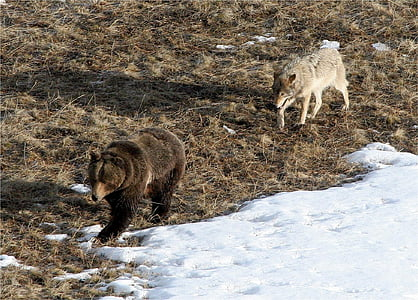 gray wolf following brown grizzly bear