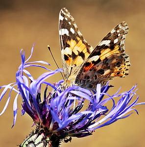 tortoiseshell butterfly on purple petaled flower