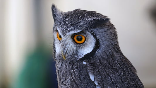 photography gray owl