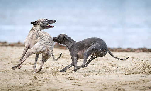 two grey and brown brindle greyhounds on seashore during daytime