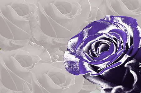 purple rose illustration