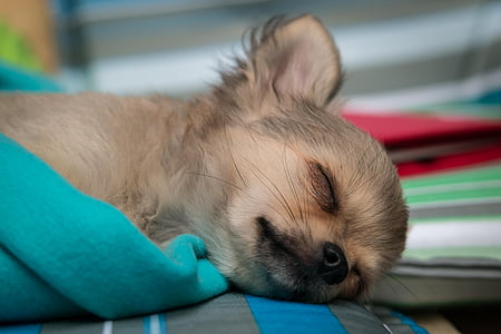 brown and black chihuahua lying on green textile