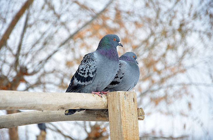 depth of field photography of two rock doves perching on brown wood stick