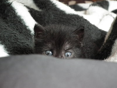 long-coated black kitten hiding