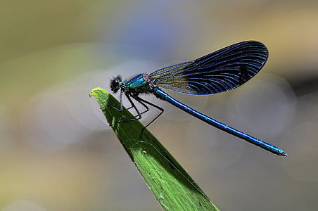 selective photography of black and blue darner dragonfly on plant leave
