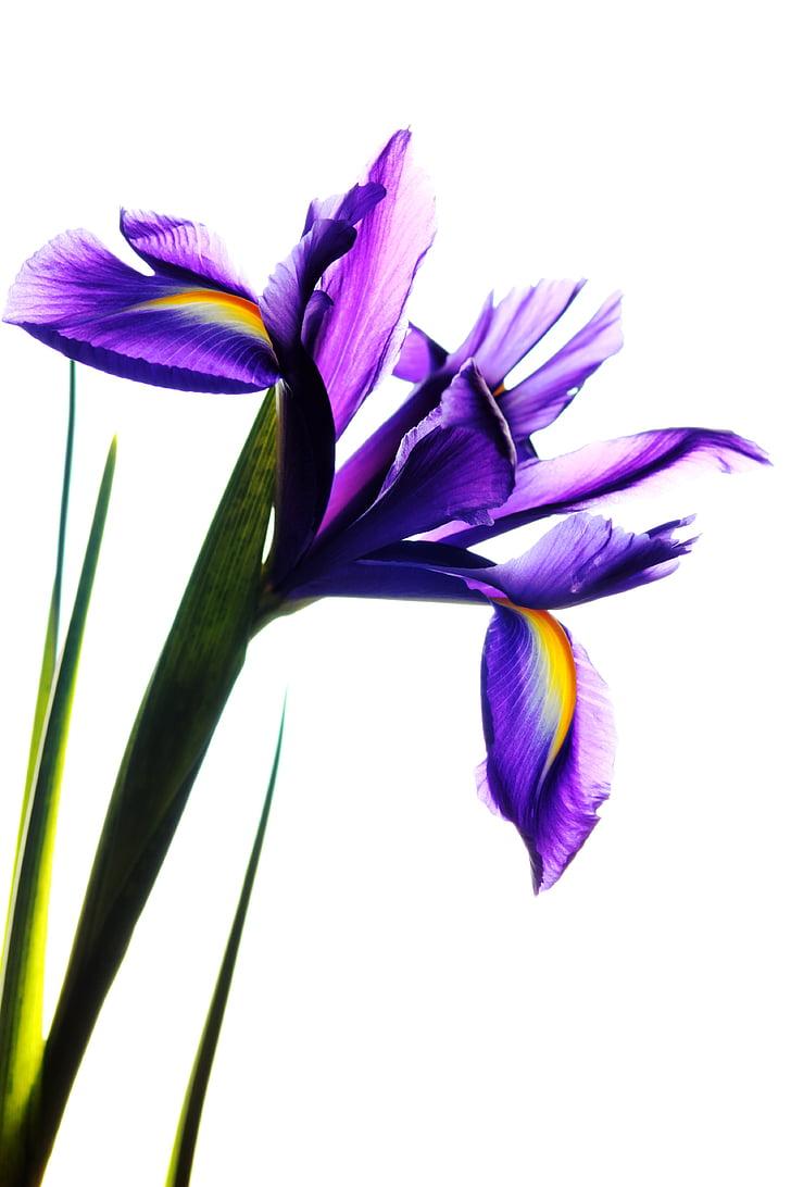 Royalty free photo purple petaled flowers with white background purple petaled flowers with white background izmirmasajfo