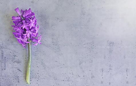 purple Hyacinth flower on floor