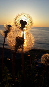 shallow focus photo of dandelion during sunset