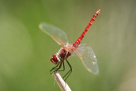 red dragonfly closeup photography