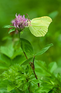 selective focus photography of brimstone butterfly perched on purple petaled flower