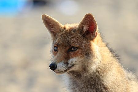 brown fox photography