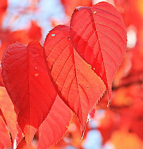 red leaves close up photography
