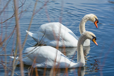 two mute swans at the body of water