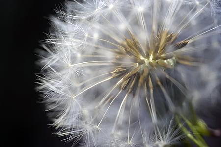 macro photography of dandelion flower