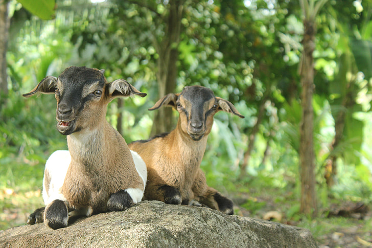 two brown-and-gray goat on gray rock