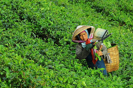 woman harvesting vegetable during daytime