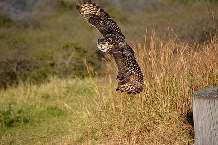 brown flying owl