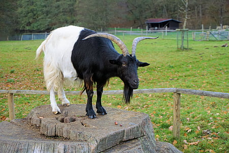 black and white goat on brown tree trunk during daytime